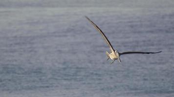 pelicanos voam sobre o oceano pacífico e mergulham para pegar um peixe. video