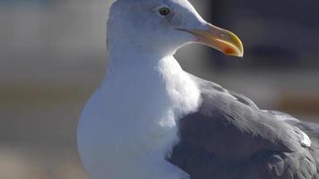 uma gaivota branca com dedos dos pés palmados repousa perto do oceano pacífico. video