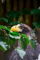 Stellers See Eagle photo