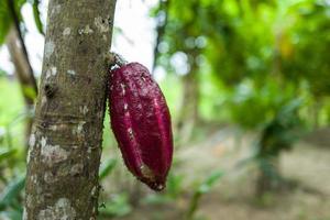 A cocoa pod in Bali photo