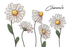 ilustraciones de botánica floral. vector bocetos flores de manzanilla.