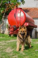 Portrait of German Shepherd photo