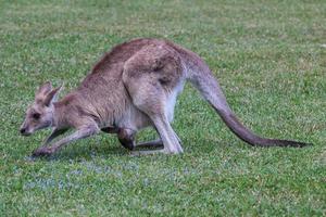 Canguro gris oriental Macropus giganteus Sunshine Coast Queensland Australia foto