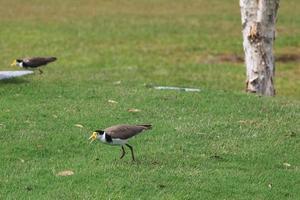 Blackshouldered Lapwing Vanellus miles novaehollandiae Sunshine Coast University Campus Queensland Australia photo