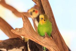 Budgericar Melopsittacus undulatus Territorio del Norte de Australia foto