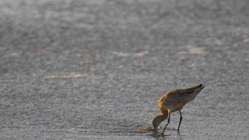 A sandpiper bird eating at sunset on the beach. video
