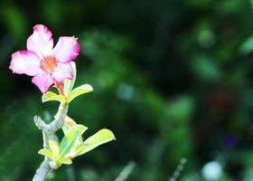 Single Desert Rose Tropical flower with bokeh lights backgrounds photo