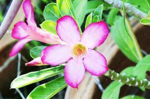 Closeup of Desert Rose Tropical flower beautiful bunch of pink flowers photo