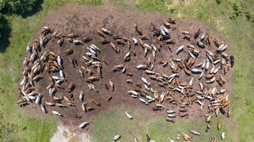 Vista aérea de las vacas, vista desde el vuelo del drone sobre los pastos en el campo foto