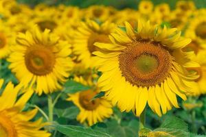 girasoles florecientes fondo natural foto