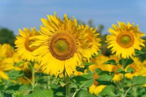 girasoles florecientes sobre fondo natural foto