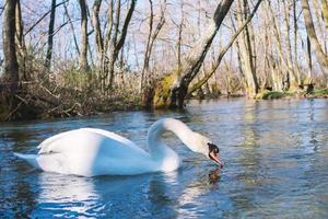 White swan swimming on lake at park photo