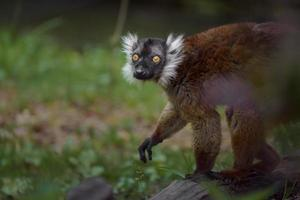 Red fronted lemur photo