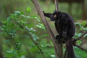 Black lemur on branch photo
