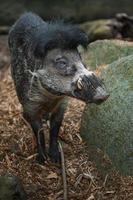 Visayan warty pig photo