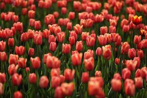 Fields on which bloom pink tulips. Tulip field. Field with pink tulips. Bouquet of flowers, pink background. photo