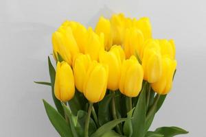 Yellow tulip flowers isolated on white background, for your creative design and decoration photo