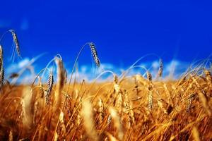 Ears of golden wheat close up. Beautiful Nature Sunset Landscape. Rural Scenery under Shining Sunlight. Rich harvest Concept. Background of ripening ears of meadow wheat field. photo