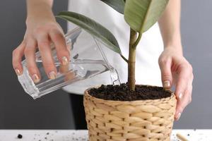 mujer regando ficus benjamina en el interior, primer plano. planta casera foto