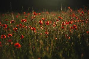 Red poppies field. The Sun setting on a field of poppies in the countryside photo