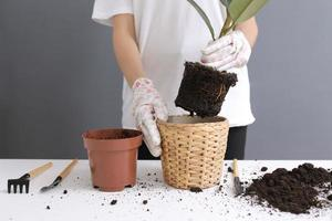Woman replanting Ficus flower in a new wicker pot, the houseplant transplant at home. Young beautiful woman caring for potted indoor plants. Scandinavian style. Minimalism. Florist. Eco friendly. photo