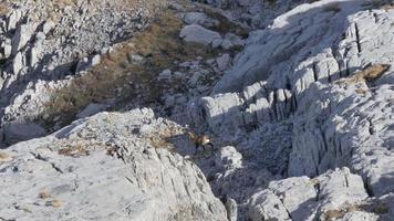 cabras montesas corriendo por las rocas de las montañas. video