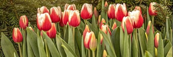 tulipanes rojos en un parterre en el jardín. primavera. blooming.sunset.banner foto