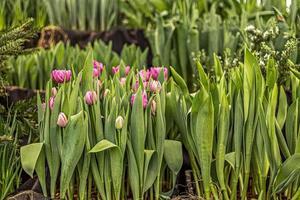 tulipanes rosados en un macizo de flores en el jardín. primavera. floreciente. foto