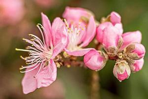 A macrophotography of a pink cherry blossom. Sakura blossom. photo