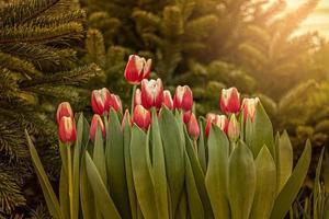 tulipanes rojos en un parterre en el jardín. primavera. puesta de sol floreciente. foto