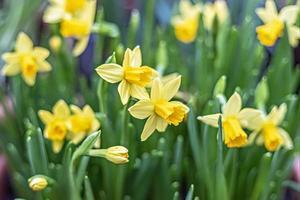 Fondo de narciso amarillo en el jardín. primavera. Flores floreciendo. foto