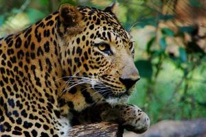retrato de leopardo, mirando tranquilo, cerca foto