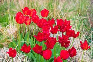 Red tulips in Whitworth Park, Manchester. Spring landscape photo