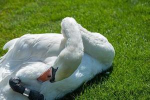 Un hermoso cisne Cygnus olor se relaja en la pradera foto