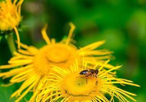 abeja en una flor amarilla. adecuado como fondo de naturaleza foto
