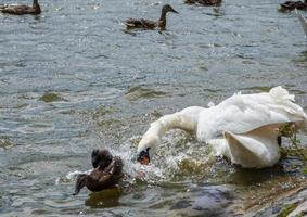 A swan chases off a duckling in a pond at Leases Park, Newcastle photo