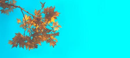 Autumn leaves against blue sky, with copy space photo