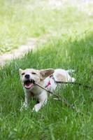 Cute little white dog playing with a stick, in the park photo