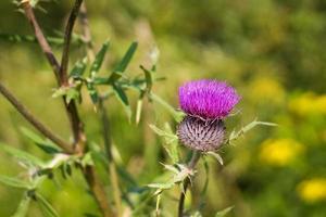 primer plano de flor espinosa de campo foto