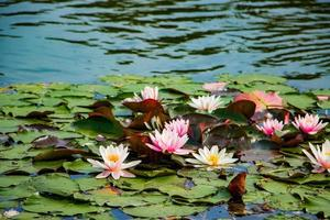 Pink lotuses in clear water. Beautiful water lilies in the pond. Asian flower - a symbol of relaxation. photo