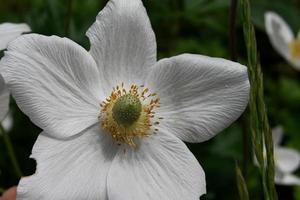 una flor blanca foto