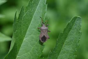 Brown bedbug on a green leaf photo