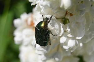 Green beetle on a white flowering shrub photo