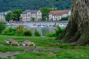 Canadá gansos de agua potable en el parque Neckarwiese, Heidelberg, Alemania foto
