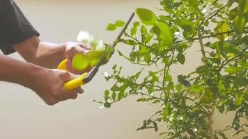 Using grass shears to prune the tree branches video
