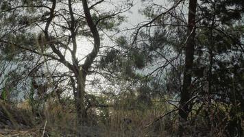 schittering van de zon op het water door de takken van pijnbomen video