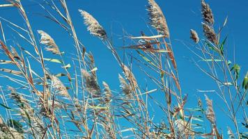 Dry panicles of reeds sway in the wind against the blue sky video