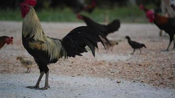 Chicken in farm video