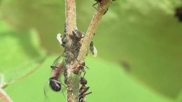 Macro of wood ants grazing and guarding aphids on the stem of a plant video