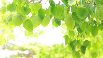 Bodhi leaves are light green and copy space. video